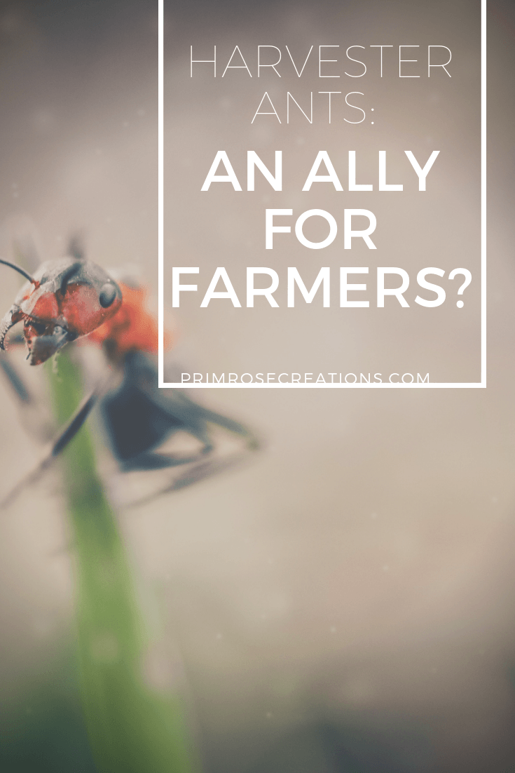 Harvester Ants: Can they be a farmers ally? Scientists in Spain may have the answer. #PrimroseCreations #LoveTheLifeYouLive #ScienceBehindItAll #Gardening #Farming #Agriculture #Science #Research #Environment #SustainableLiving