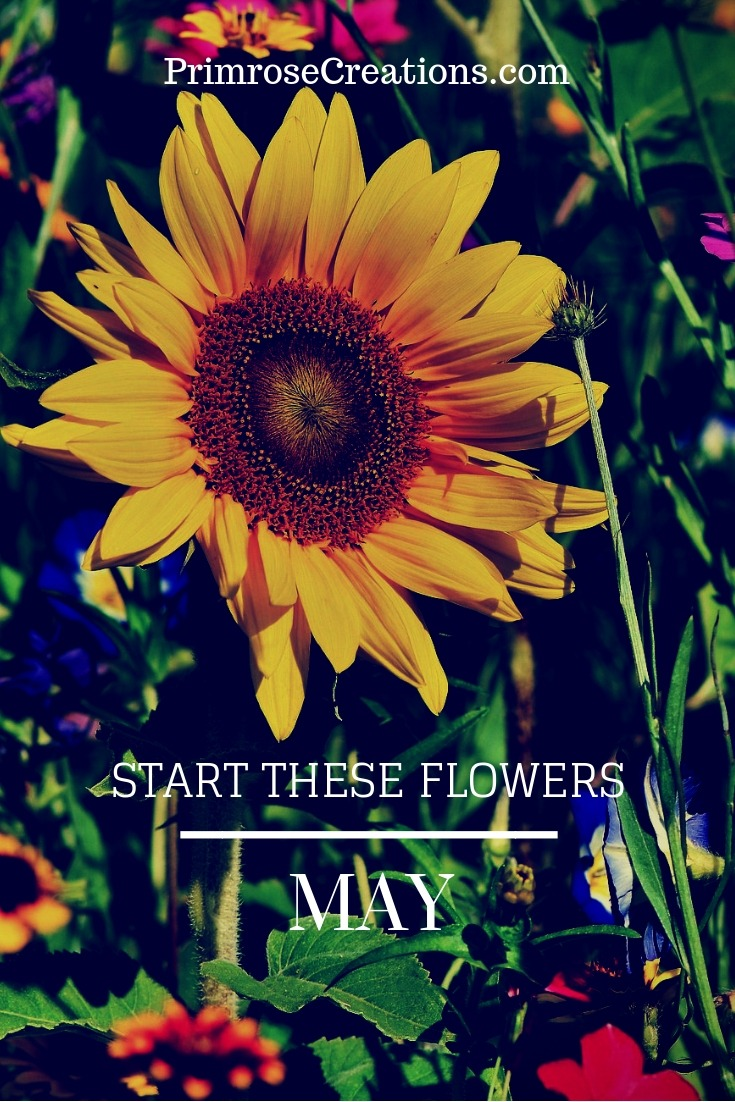 Plant these flowers in May for a vibrant annual cutting garden. Get fast color without a huge investment. #PrimroseCreations #LoveTheLifeYouLive #MayFlowers #SpringFlowers #CutFlowerGarden #Flowers #AnnualFlowers #Garden