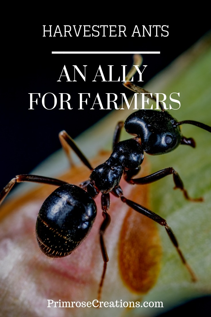 Can harvester ants be a farmers best ally? Scientists in Spain may have the answer.