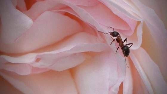 Can harvester ants be a farmer's best ally? Scientists in Spain may have the answer!
