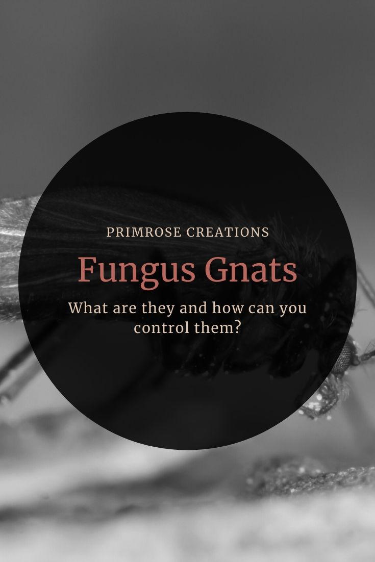 Where do fungus gnats come from? How are they controlled? New growers can control fungus gnat infestations with changes to watering habits and the use of biological control agents. What agents are best for fungus gnats? Click to read more!