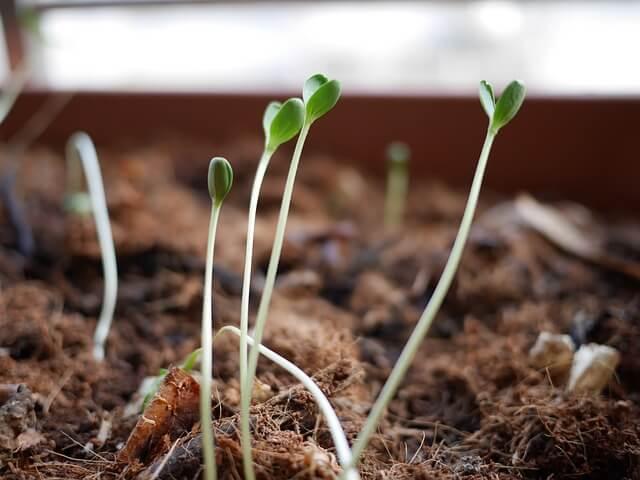 Leggy seedling stems